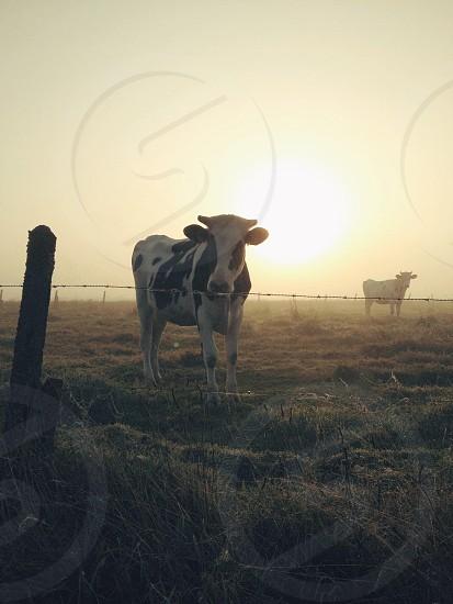 Foggy sunrise in rural Flanders.  photo