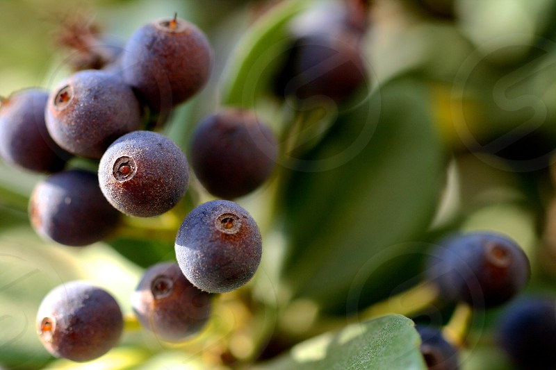 A macro photo of some purple berries. Nature macro photography berries purple blue green leaves stems fruit plants campus college.  photo