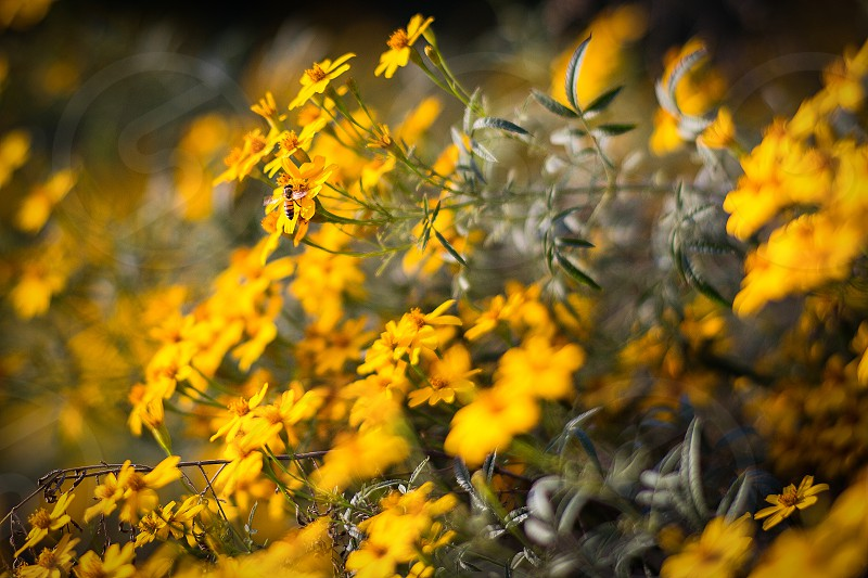 Bees Bee flowers yellow nature pollinating pollinate photo