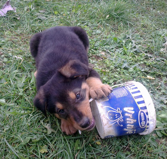 Puppy are playing with bucket photo