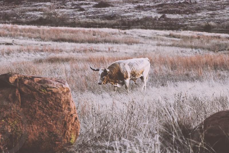 Longhorn Oklahoma Wildlife Field Meadow photo