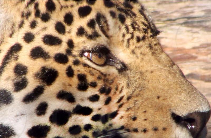 leopard head photo