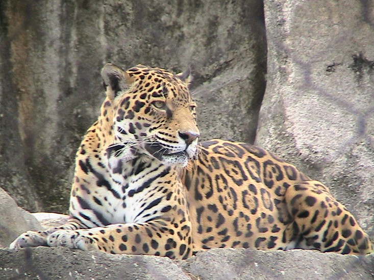Leopard at the Houston Zoo photo