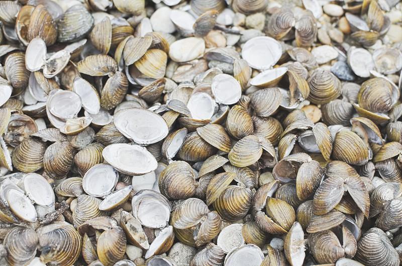 Many Dry Corbicula Fluminea Clam Shells on the Beach photo