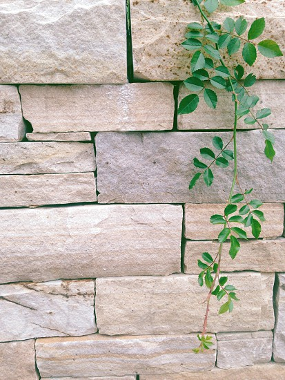 photography of a green leafed vines on gray brick wall photo