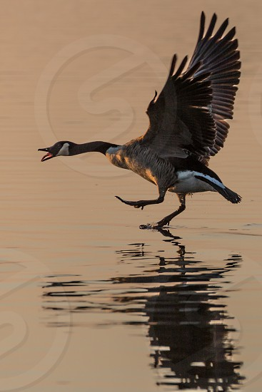 Canada Goose (Branta canadensis) walking on water squawking and with wings stretched in the glow of the sun photo