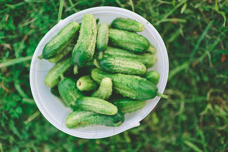 A bucket of freshly picked cucumbers from the garden. photo