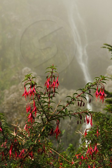 Chilco or fuchsia magellanica at home in the wild in Queulat National Park Patagonia Chile. flowers waterfalls photo