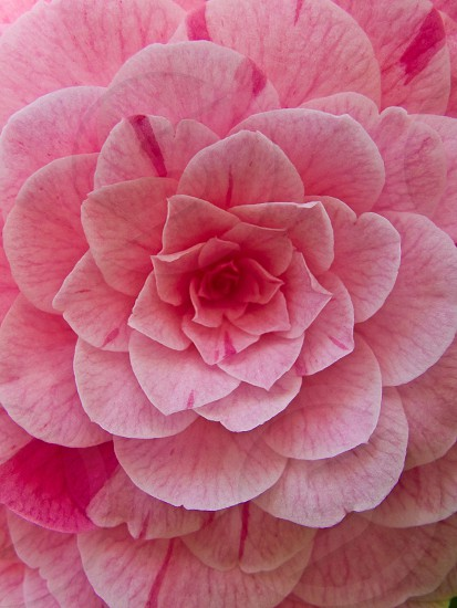 top view of pink multi petaled flower photo