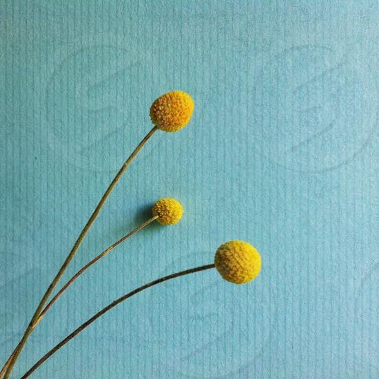 yellow flower bud photo