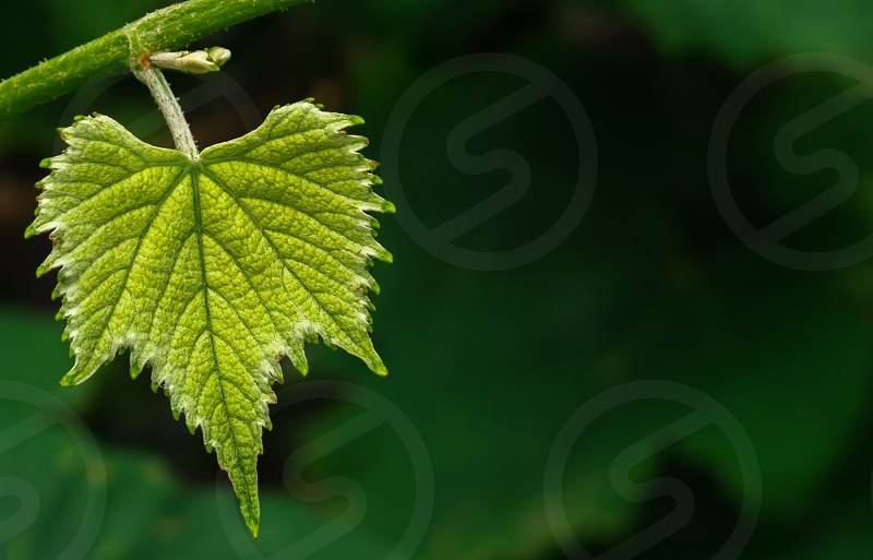 A single young grape leaf against a green background photo