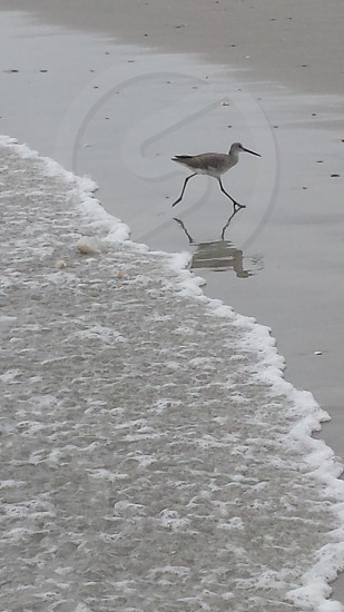 Sandpiper dashing from Arthur's waves on the North Carolina coast photo