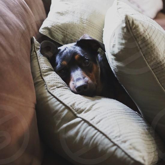 black dog on throw pillow photo