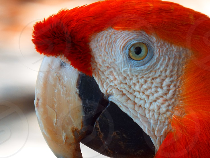 Detailed close up of a scarlet macaw scientific name ara macao eye head and beak region and red feathers. photo