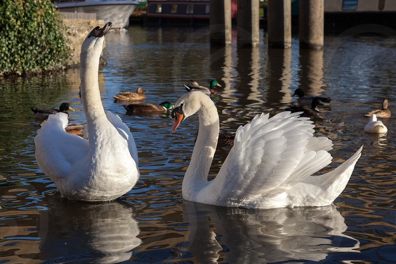 Mute Swans on the River Great Ouse photo
