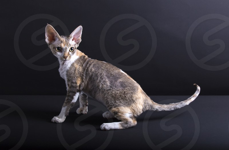 Kitten of the Devon Rex photo