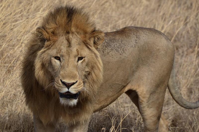 Lion King - Ngorongoro Crater - Tanzania Africa photo
