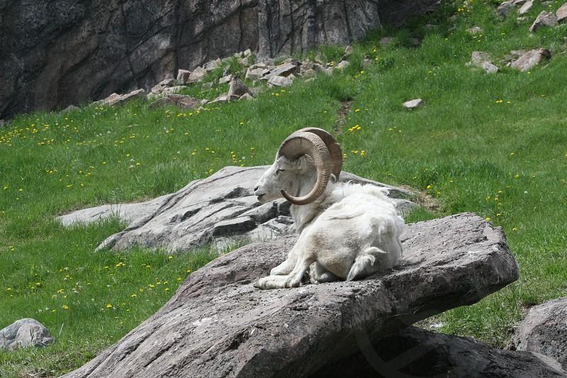 Bighorn Mountain Sheep lounging on rock cliff. photo