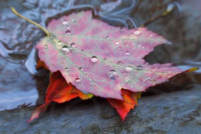 Autumn leaves. Water droplets. Stream. Fall. photo