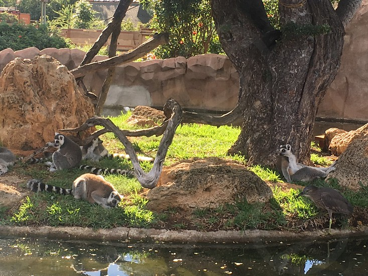 Lemurs chilling in the shade  photo