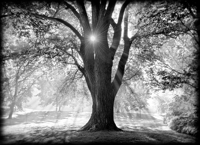 grandfather tree. St. Paul MN photo
