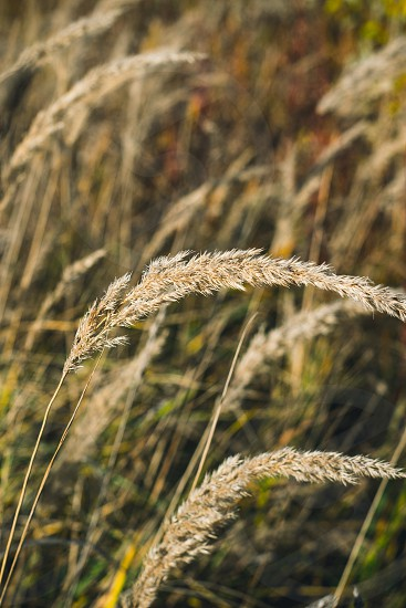 Close up view of many feather grass in the field photo