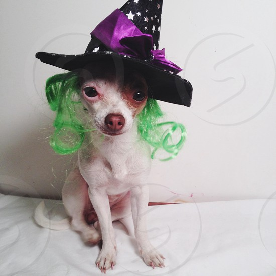 white and brown chihuahua wearing black and white witch hat with purple bow photo