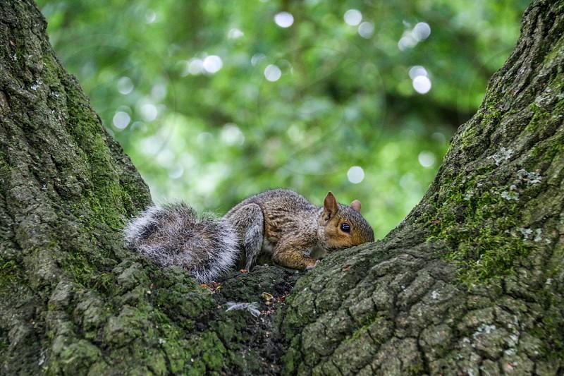 Immature grey squirrel in tree photo