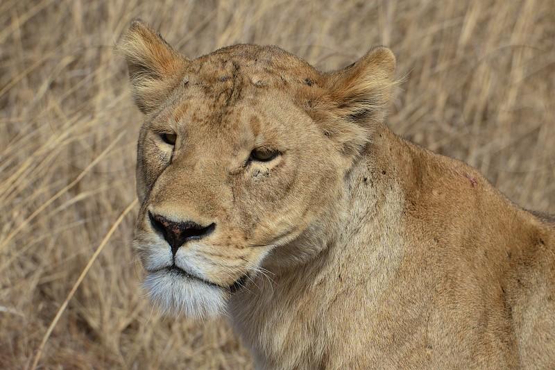 Lioness Portrait - Tanzania photo