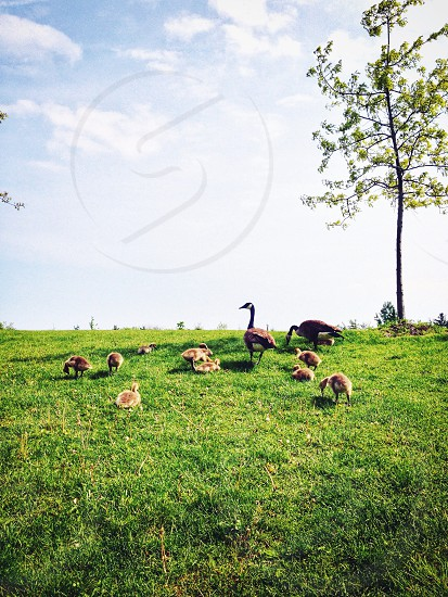 geese and goslings on green grassy hill photo