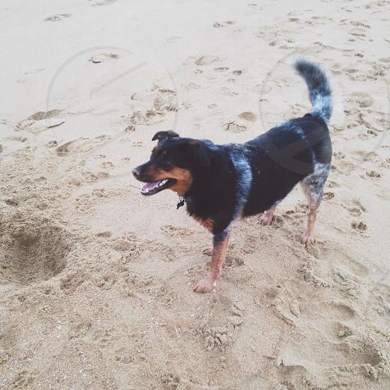 black and brown dog on brown sand photo