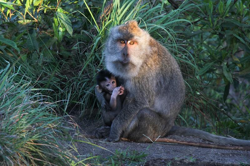 Monkey baby bali mother child mountain animal nature  photo