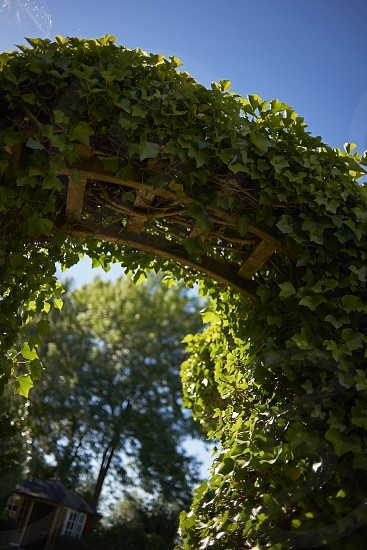 A beautiful creeping arched canopy plant growing in the garden in summer sunshine photo