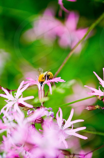 yellow bumble bee on pink flower photo