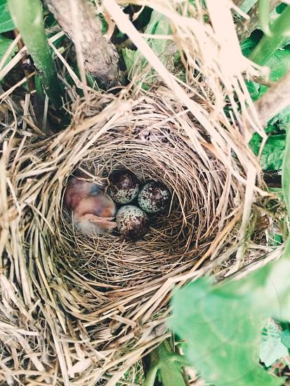 baby bird eggs nest spring summer photo