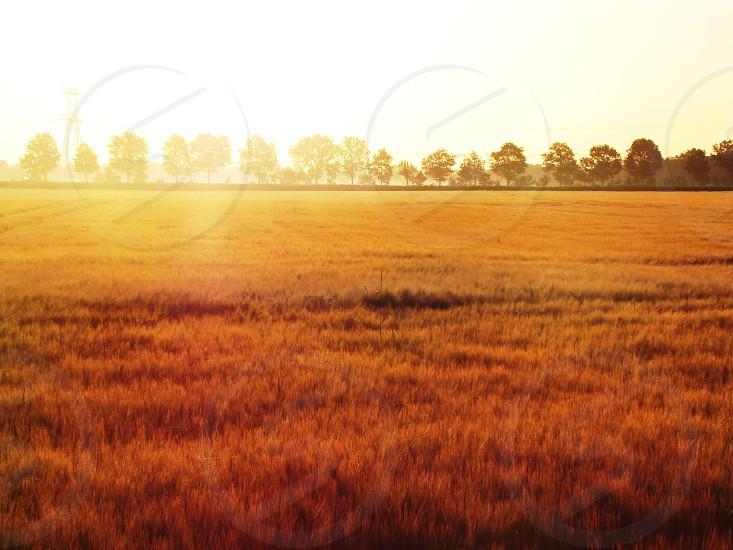 #cornfield #europe #ecol #landscape #dutch #corn #sunrise photo