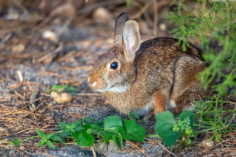 A wild bunny rabbit rests under a tree in Florida USA. photo