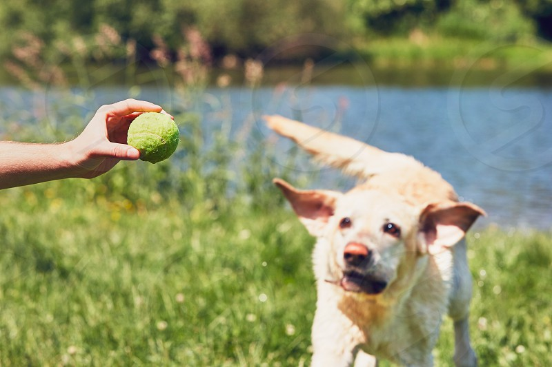 Man playing with his dog. Happy labrador retriever running for tennis ball.  photo