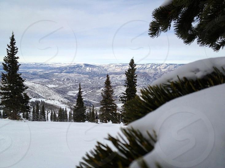 pine trees at snow photo