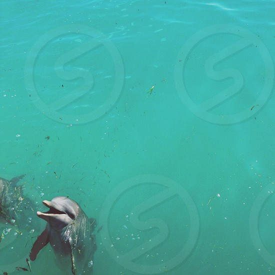 grey dolphins frolicking at the se photo