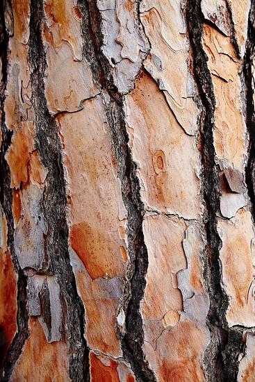 Mediterranean pin bark trunk texture in Costa Brava at Catalonia photo
