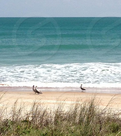 pelicans on the beach photo