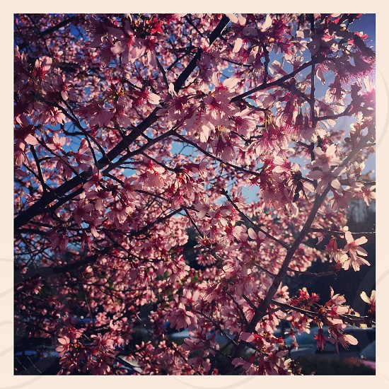 Tree with pink flowers sunlight shining through photo