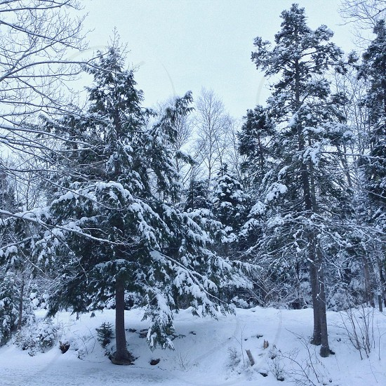 green pine tree covered with snow photo