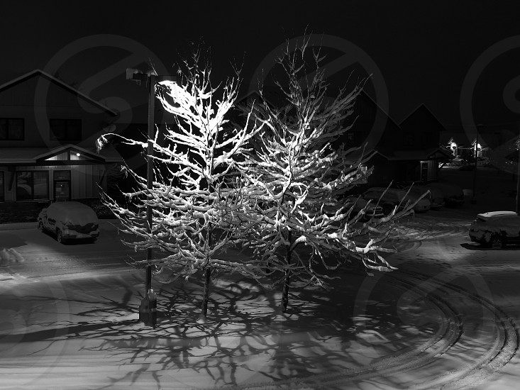2 tall trees covered with snow at night photo