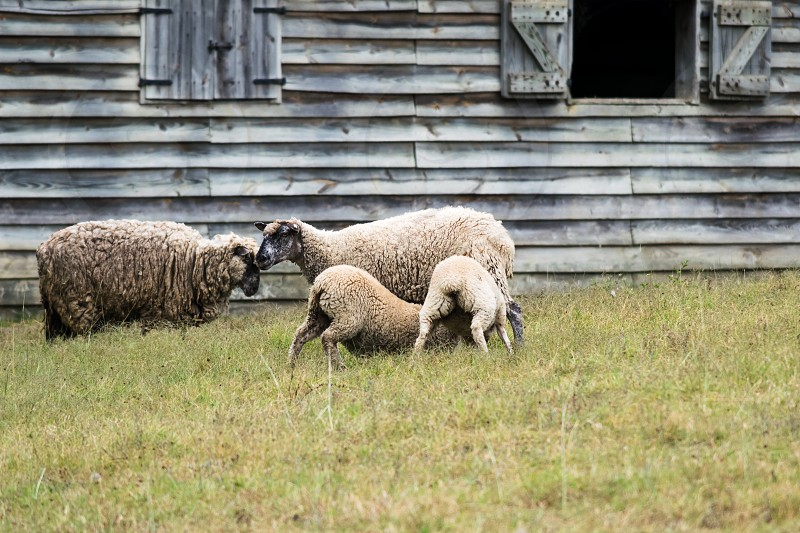 Two lambs feeding in a pasture in front of a wooden barn on a farm in Virginia photo