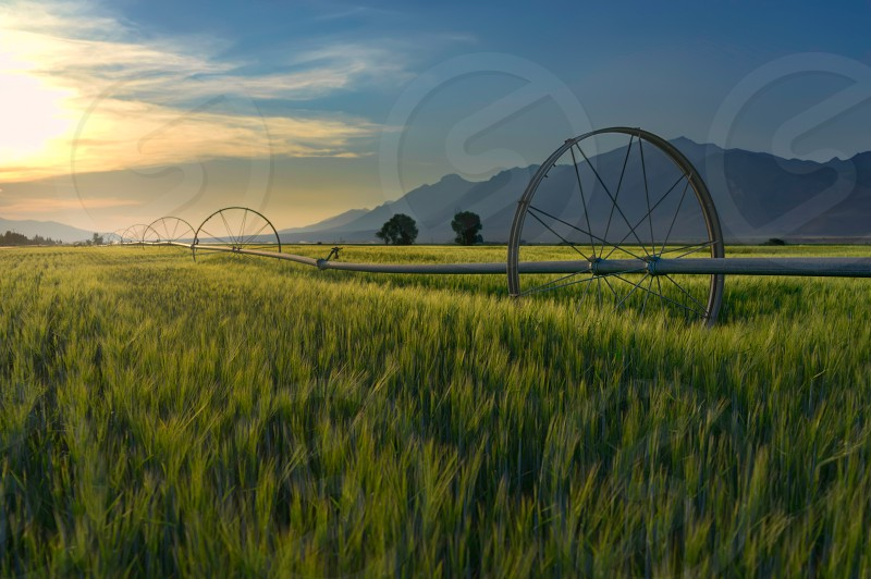 """Off to the horizon the """"Amber Waves of Grain""""glow in the afternoon light in a beautiful colorful valley full of farms in Central Idaho.  photo"""
