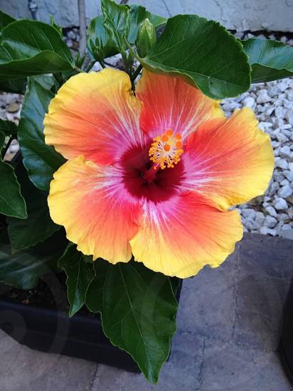 Yellow Pink Red Hibiscus photo