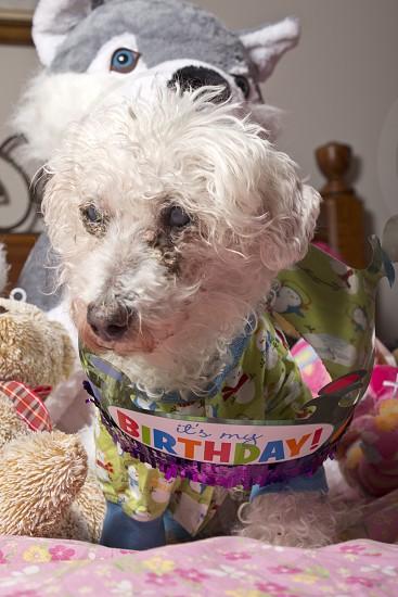 Old Dog Elderly 2014 Birthday Cute Bichon Frise Pajamas Color  photo