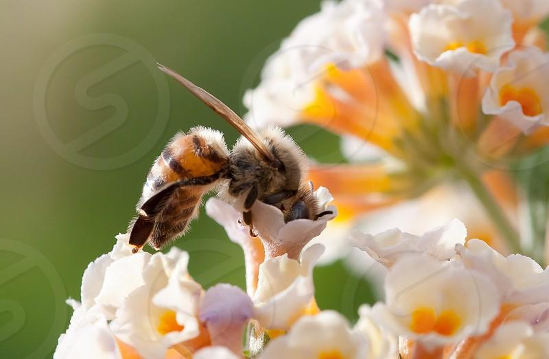 Honey bee yellow photo